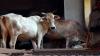पुलिस करती है 'परेशान', मुस्लिम बुजुर्ग ने किया गायों को दान करने का फैसला