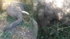 दांत टूट गया, सूढ़ कट गई, ट्रेन की टक्कर से तड़प-तड़पकर मर गए दो हाथी