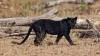 छत्तीसगढ़ के अचनकमार जंगल में में दिखा यह दुर्लभ काला जीव, क्या आपने कभी इसे देखा है?