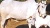 हिसारः मालिक ने दूध न देने पर गाय को पीट-पीटकर बेरहमी से मार डाला, पास एकटक मां को देखता रहा बछड़ा