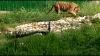 दिल्ली में राष्ट्रीय पक्षी मोर और पशु बाघ एक साथ टहलते नजर आए, हैरान रह जाएंगे ये वीडियो देखकर