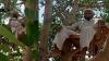 67 साल के राजेंद्र ने ताजी हवा के लिए पीपल के पेड़ पर डाला डेरा, कहा-मेरा ऑक्सीजन लेवल 99 पर पहुंचा