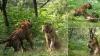 देखें वीडियो, बाघिन के लिए कैसे आपस में भिड़ गए बाघ भाई