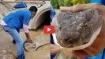 VIDEO: अचानक दिखा 13 फुट का किंग कोबरा तो मचा हड़कंप, ऐसे किया काबू