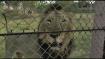 VIDEO: गुजरात से सफारी के लिए इटावा में लाए गए शेर की तबियत खराब हुई, नहीं बचा सके उसे