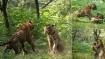 VIDEO: बाघिन के लिए आपस में भिड़ गए बाघ भाई, दोनों को लड़ता देख वहां से खिसक गई वह