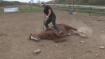 VIDEO: बेहद शातिर है ये घोड़ा, काम नहीं करना पड़े इसलिए बनाता है अजीब बहाना