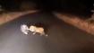 बीच सड़क पर भिड़े तेंदुआ और साही, नहीं देखी होगी जानवरों की ऐसी लड़ाई, वीडियो वायरल