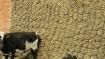 छत्तीसगढ़ में 800 किलो गाय का गोबर चोरी, पुलिस 'गोबर चोरों' की कर रही है तलाश