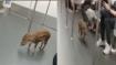 दिल्ली मेट्रो में बंदर के बाद अब हांगकांग की ट्रेन में दौड़ता दिखा जंगली सुअर, वीडियो वायरल