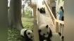 Video: आपका दिन बना देगा फिसल पट्टी पर खेलते खूबसूरत पांडाओं का यह शानदार वीडियो