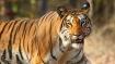 International Tiger Day: बाघों की आबादी का 70% हिस्सा भारत में, जानें इस दिन का इतिहास