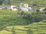 जैविक चाय को बढ़ावा देने में जुटा उत्तराखण्ड