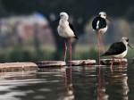 पक्षी प्रेमियों के लिए 'मक्का' है छत्तीसगढ़ का गिधवा
