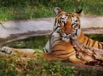 पिछले सात महीनों में 32 बाघ शिकारियों की भेंट चढ़े