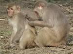 तस्वीरों में दखें: बंदर भी करते हैं वेश्यावृत्ति, पैसे की जगह देते हैं खाने का सामान