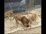 खुदकुशी करने के लिए बिना कपड़ों के शेर के बाड़े में कूदा युवक, शेरों की चली गई जान