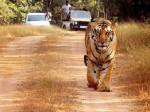 सीबीआई से कराई जाएगी बाघ जय के गायब होने की जांच- महाराष्ट्र सरकार
