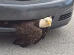 जब कार की ग्रिल में फंसा बाज, फिर क्या हुआ देखिए...