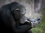 Video: मिलिए चेन स्मोकर चिम्पांजी से, जो दिन भर में फूंकती है 1 पैकेट सिगरेट