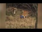 जू में बाघ के बाड़े में गिरा शख्स, तीन टाइगर्स ने मिलकर कर दिया हमला, देखें खौफनाक वीडियो