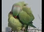 पढ़िए 'तोते' की लव स्टोरी- कैसे पिंजरे में कैद प्रेमिका के लिए कर बैठा आमरण अनशन