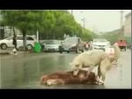 सड़क पर मरे हुए दोस्त को उठाने की कोशिश कर रहे इस कुत्ते का वीडियो देखकर छलक उठेंगे आंसू