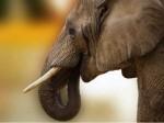 भूखे हाथी ने खा लिए  40,000 के नोट, फिर करने लगा उल्टियां