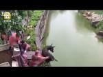 जिंदा गधे को भूखे बाघों के बाड़े में फेंका,देखिए शिकार का LIVE वीडियो