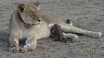 अनहोनी: तेंदुए के बच्चे को पाल रही है शेरनी