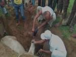 चरते-चरते गड्ढे में गिरी गाय, मुस्लिमों ने घंटो मशक्कत कर निकाला बाहर