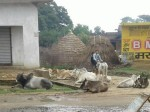 हनुमानगढ़ी की एक गाय बनी फसाद की जड़, थाने पहुंचा मामला