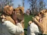 7 साल बाद अपने शेरों से मिली महिला, वीडियो देखकर भावुक हो जाएंगे आप