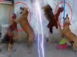 VIRAL VIDEO: मुर्गे को कमजोर समझ लड़ा कुत्ता, देखिए वीडियो में कौन निकला बाहुबली
