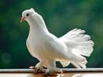 बिना टिकट बस में सफर कर रहा था कबूतर, कंडक्टर को नोटिस जारी