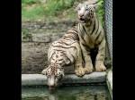 नेशनल पार्क में सफेद बाघ ने खाना देने गए केयर टेकर को मार डाला