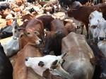 बुलंदशहर में गोरक्षकों की डर के वजह से जिंदगी की  जंग लड़ रही गाय