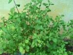 Astro Tips: जानिए तुलसी पौधे के ज्योतिषीय उपाय..