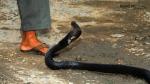 60 वर्षीय शख्स को सांप ने डंसा तो उसने भी पलट के सांप को काटा, जानिए फिर क्या हुआ अंजाम