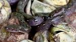 घर पर 200 जहरीले कोबरा सांपों ने किया कब्जा, पूरा परिवार भागने पर हुआ मजबूर