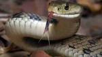 नवादा: स्कूल के किचन में निकला किंग कोबरा, पकड़ने के लिए करनी पड़ी मशक्कत