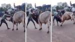 बीच सड़क 'भल्लालदेव' बना ये शख्स, भारी भरकम सांड को पटका, देखिए Video