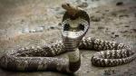 जब स्कूल की दीवारों से निकलने लगा जहरीला कोबरा, दहशत में छात्र नहीं आ रहे स्कूल