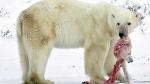 यह तस्वीर आपको डरा देगी, अपने ही बच्चों को मारकर खा रहे हैं Polar Bear