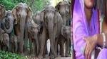 12 हाथी के झुंड के बीच महुआ बीन रही महिला फंस गई फिर एक-एक कर हाथियों ने शुरू कर दिया हमला