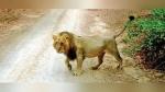 गुजरात: 3 महीने में मिलीं 30 एशियाई शेरों की लाशें, रहस्यमयी मौतों पर शोध के लिए दिल्ली से आई विशेष टीम