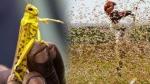 टिड्डियों के आतंक के चलते यूपी के 10 जिले हाई अलर्ट पर, योगी आदित्यनाथ ने दिए विशेष निर्देश