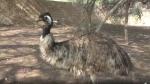 राजस्थान में पल रहा ऑस्ट्रेलिया का राष्ट्रीय पक्षी एमू, लोगों के साथ शान से खिंचवाता है सेल्फी