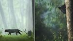 ब्लैक पैंथर की वायरल फोटो देख लोगों को याद आया मोगली का 'बघीरा', कर्नाटक के जंगल में टहलता दिखा
