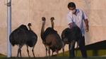 कोरोना पॉजिटिव ब्राजील के राष्ट्रपति जैर बोलसोनारो बने विशाल पक्षी रिया का शिकार